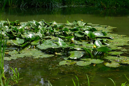 esoterics: Water lilies in the pond Stock Photo
