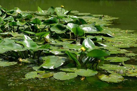 esoterics: Water Lily - beauty in nature