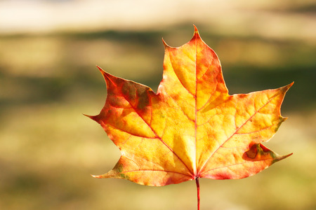 nature beauty: Autumn leaf - beauty in nature