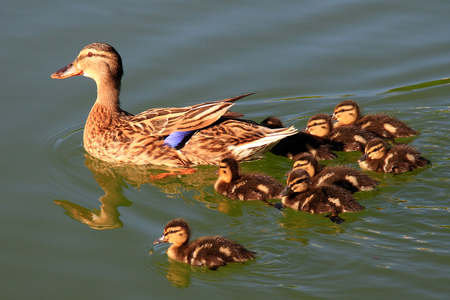 posterity: Duck with ducklings swimming on lake