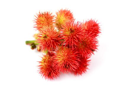 피마자 식물