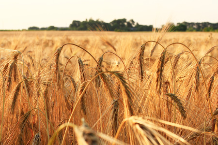 Golden ears of wheat in field