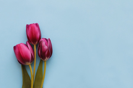 Three brightly pink tulips on blue background 写真素材