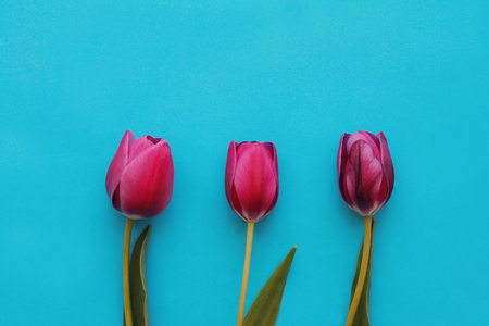 Brightly pink tulips on blue background