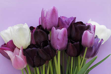 Bouquet of purple, white colors tulips on violet background 写真素材