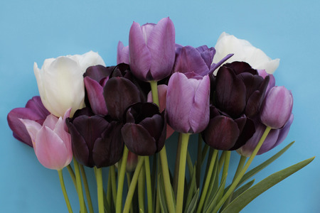Colorful bouquet of purple, white colors tulips on blue background 写真素材