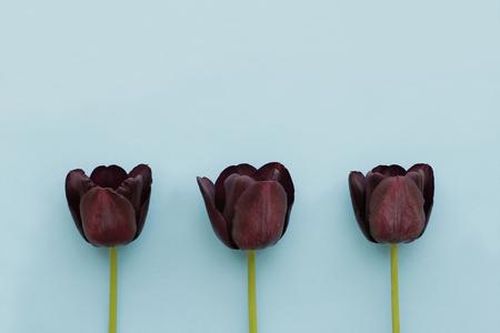 Three dark burgundy tulips on blue background