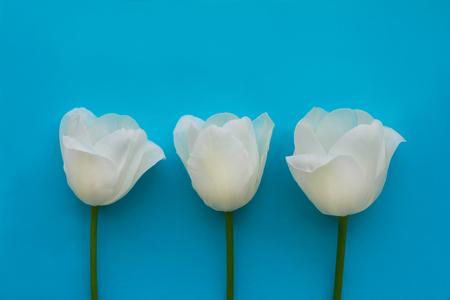 Three white tulips on turquoise background