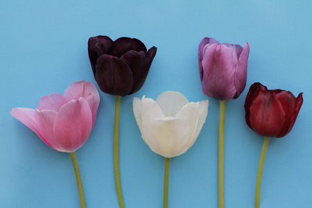 Five of multicolored tulips on blue background