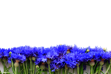 Cornflowers on white background with place for text Banco de Imagens