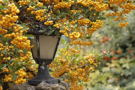 Ripe berries of yellow colors on branch near street light