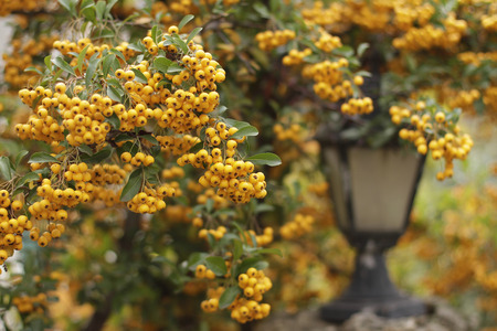 Ripe berries of yellow colors on branch
