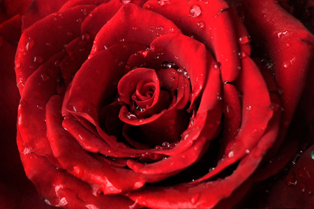 Fresh red rose close up with drops of water