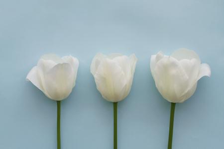 Three white tulips on light blue background