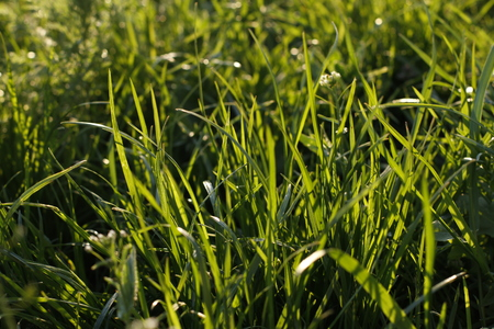 Green fresh grass in early May, full frame, used as background
