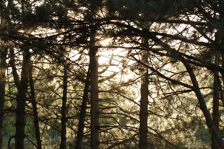 Sun shines through the branches of the pines. Summer day in wood