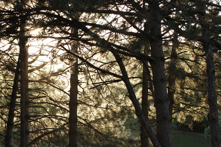 Summer day in wood. Sun shines through the branches of the pines 写真素材