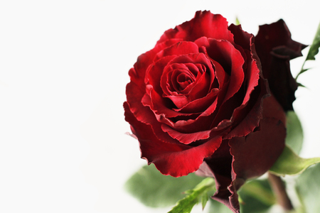 Fresh red rose on white background Banco de Imagens