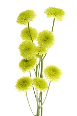 pom: Ten Green Mini Button Pom Pom Flowers with stems isolated on white background, also sometimes called button poms,  Stock Photo
