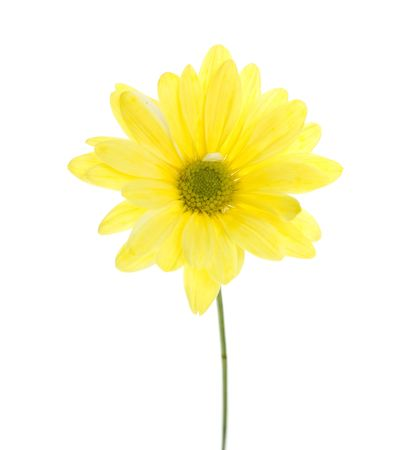 shasta daisy: Chrysanthemum Maximum: Single Yellow Shasta Daisy Flower, white flower tinted yellow, Isolated on White, green stem.