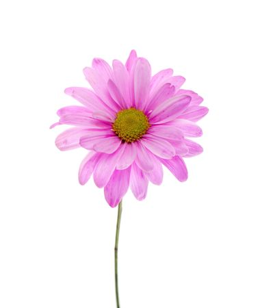 Chrysanthemum Maximum: Single Pink Shasta Daisy Isolated on White, white flower tinted pink, green stem.  Banco de Imagens