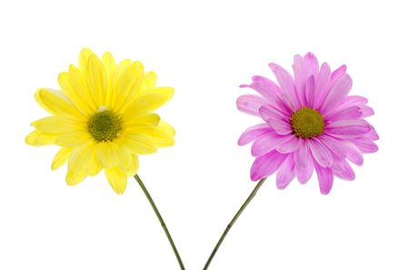 shasta daisy: Two Shasta Daisies: one Yellow Daisy, one pink daisy, white flowers tinted yellow and pink,  Isolated on White, two green stems. Chrysanthemum Maximum