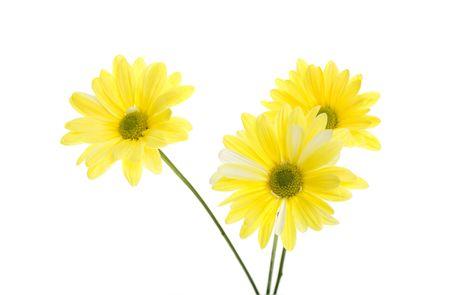Three Yellow Shasta Daisy Flowers Isolated on White, white flowers tinted yellow, green stem. chrysanthemum maximum Stock Photo