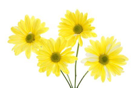 Four yellow shasta daisy flowers isolated on white white flowers four yellow shasta daisy flowers isolated on white white flowers tinted yellow green stem mightylinksfo