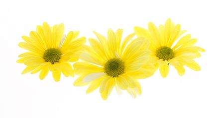 shasta daisy: Three Yellow Shasta Daisy Flowers Isolated on White, no stem. white flowers tinted yellow, chrysanthemum maximum Stock Photo