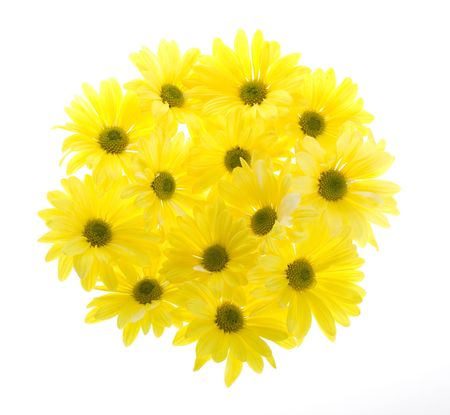 shasta daisy: Chrysanthemum Maximum: Group of Thirteen Yellow Shasta Daisy Flowers Arranged in a Circle Shape, white flowers tinted yellow, Isolated on White, no stems.  Stock Photo