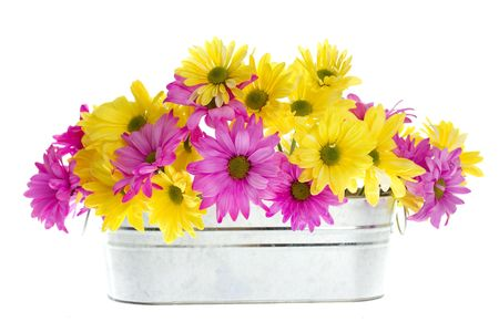 Chrysanthemum Maximum: Assortment of Yellow and Pink Shasta Daisy Flowers in Silver Container, White flowers tinted yellow and pink, Isolated on White,