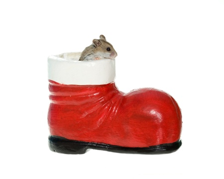 Tiny little brown hamster or mouse coming out of a santa boot, isolated on white.