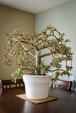 jade plant: A large Jade bonsai potted plant Stock Photo