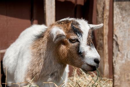 munching: Goat Munching on Grass at Petting Zoo