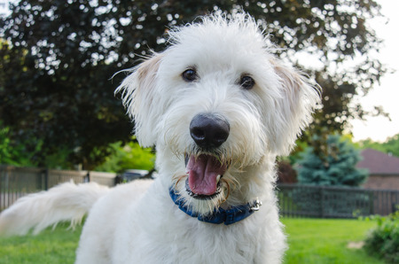 A white labradoodle looks intently at the camera photo
