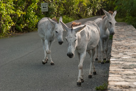 Wild Donkeys Roam the Streets of St  John