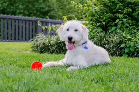 A happy dog sits with his chew toy in a backyard during sumer