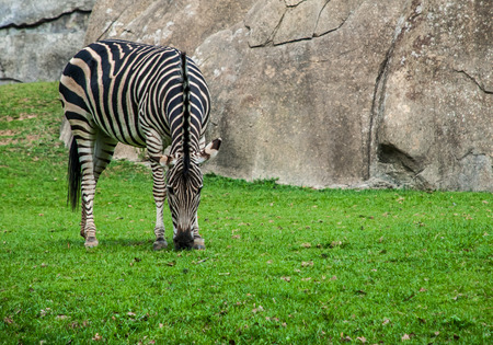 Zebra bows down to eat grass in an exhibit