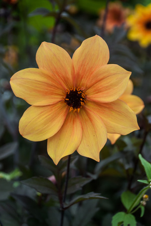 soft center: A soft yellow and orange flower with brown center Stock Photo