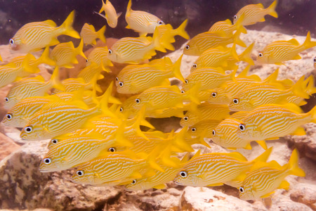 st john: A group of brightly colored yellow French Grunt fish rest near the ocean floor near St  John