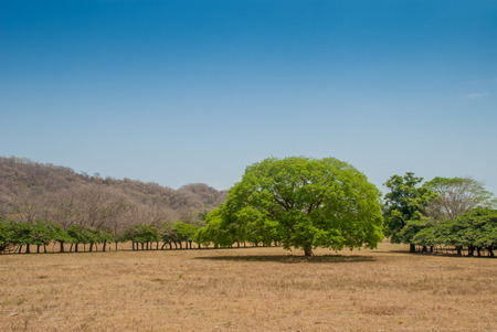 A lone green tree sits in a brown field during the dry season in western Costa Rica