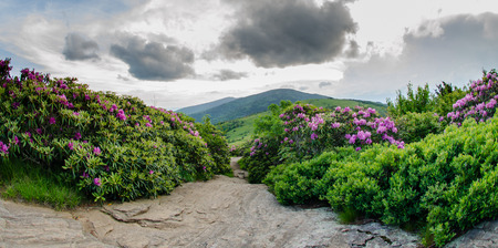 Catawba rhododendron in bloom line the Appalachian Trail photo