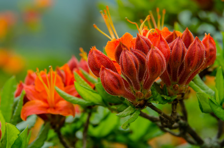 roan: Flowers in varying shades of orange prepare to bloom during June in the Roan Mountain Highlands