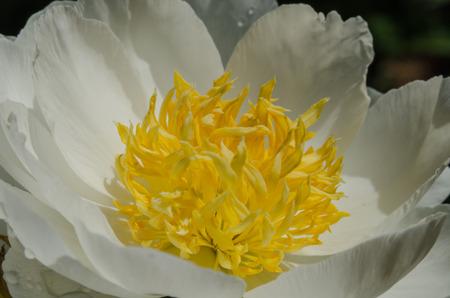 Das Zentrum Von Einer Weißen Und Gelben Blume ähnelt Einem Eiweiß ...