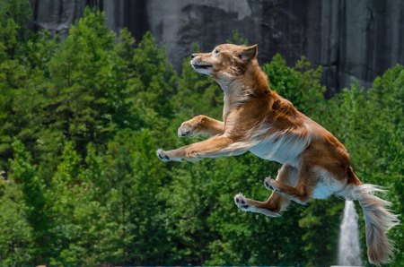 A golden retriever jumps off of a dock to fetch a dog toy