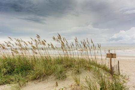 sea oats: Sea Oats Cover the Dunes Along the Atlantic Ocean in North Carolina