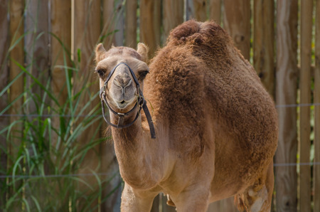 A brown camel with one hump Standard-Bild