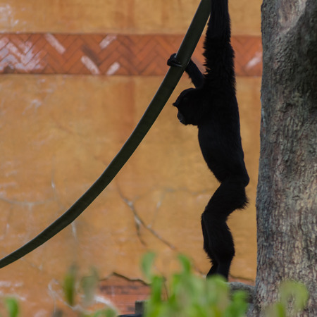 handed gibbon: A silhouette of a white handed gibbon hanging from a rope