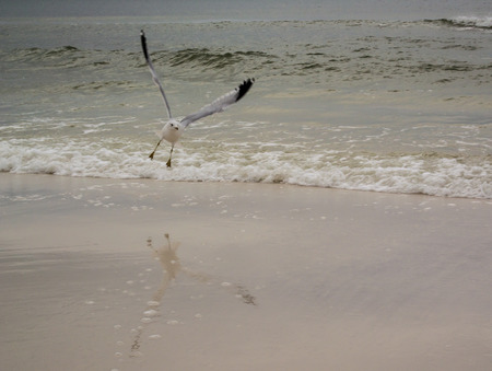 receded: A seagull looks to land on the beach while its reflection rests in the recently receded ocean water