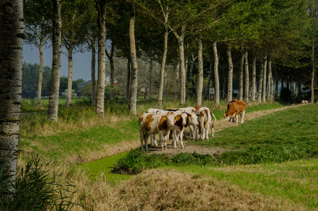 tagged: A small herd of cows grazing on grass in a rural farm land